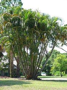 Арека, арековая пальма