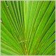 Панданус, винтовая пальма