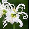Гименокаллис или лилия-паук