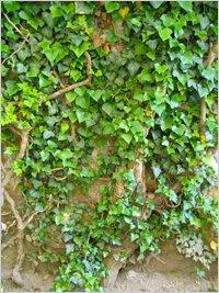 Лиана вьющиеся и лазящие растения