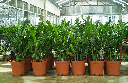 Замиокулькас редко лишь у растения