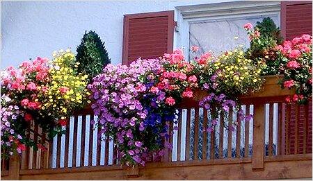 Однолетники для балкона