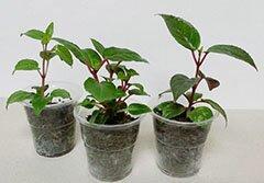 Как укоренять черенки комнатных растений