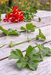 как высадить комнатные цветы из семян