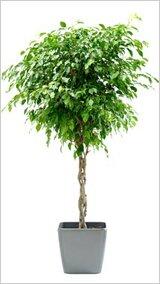 Большое комнатное растение фикус Бенджамина