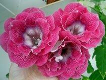Каменно цвете Глоксиния Синингия Gloxinia Sinningia