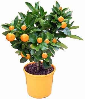 Ароматы цветов апельсина