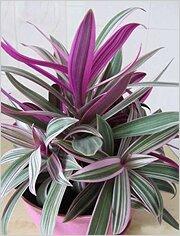 Золотой ус с фиолетовыми листьями