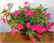 Цветок ахименес.фото