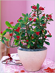 Молочай Миля - Комнатные растения и цветы 90