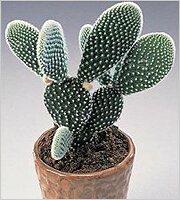 Опунция - вкусный кактус