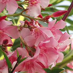 Олеандр цветение
