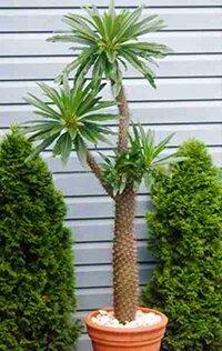Пахиподиум (мадагаскарская пальма)