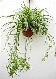 http://greendom.net/images/plants/lilea/chlorophytum1.jpg