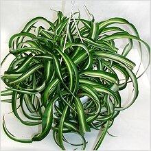http://greendom.net/images/plants/lilea/chlorophytum2.jpg