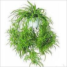 http://greendom.net/images/plants/lilea/chlorophytum3.jpg