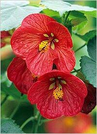 http://greendom.net/images/plants/malva/abutilon2.jpg