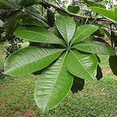 Пахира, или малабарский каштан