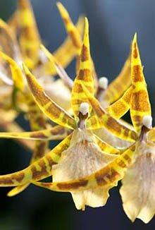 Орхидея брассия или орхидея-паук