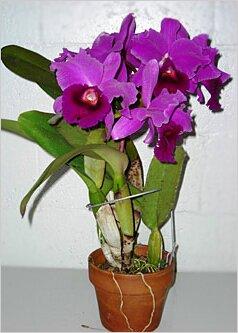 фото орхидея каттлея