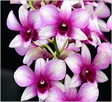 Орхидея дендробиум Sweet Pinkie