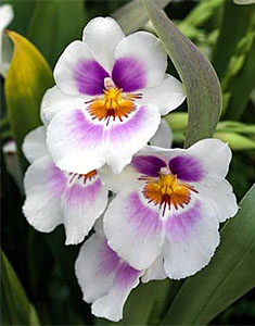 Miltoniopsis Andy Easton