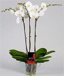 Уход за орхидеей афродита в домашних условиях 344