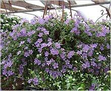 однолетние растения для балкона Бакопа