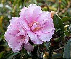 Камелия sasanqua Pink Pearl