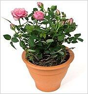 Комнатные растения. роза