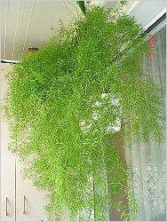 Комнатные цветы фото аспарагус шпренгера