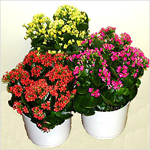 https://greendom.net/images/plants/succulent/kalanchoe7.jpg