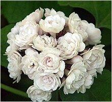 Клеродендрум philippinum